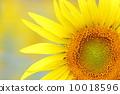 向日葵 太陽花 花朵 10018596