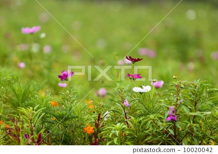 草地上盛開的野花 10020042