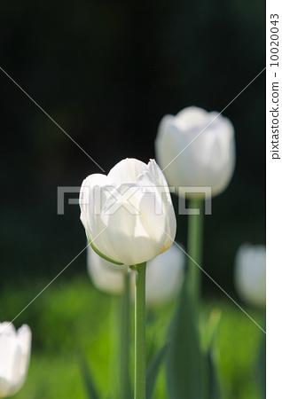 白色鬱金香 10020043