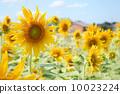 向日葵 太陽花 花朵 10023224