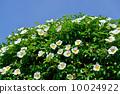 玫瑰 玫瑰花 花朵 10024922
