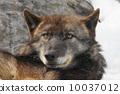 สวนสัตว์ Shinlin Wolf Asahiyama (Asahikawa) 10037012