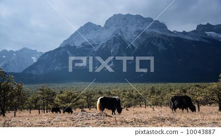雪山與犛牛 10043887