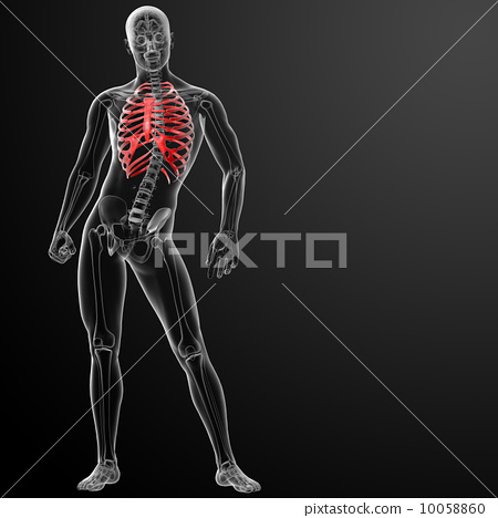 Stock Illustration: 3d render illustration of the rib cage - front view