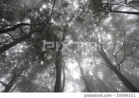 朦朧的樹林 10066211