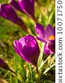 crocus, spring, flower 10071750
