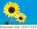 向日葵 太陽花 花朵 10077100