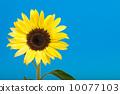 向日葵 太陽花 花朵 10077103