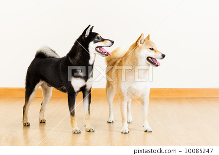 Two shiba looking aside 10085247