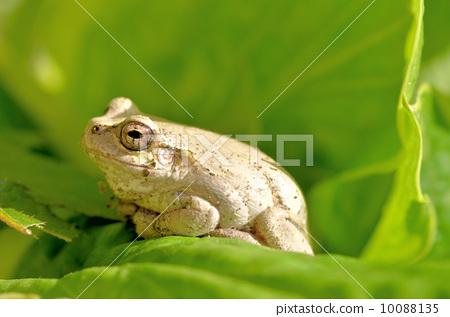 흰색으로 변색되는 청개구리 10088135