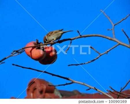 麻雀和柿子 10090169