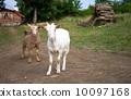 動物 農業 兒童 10097168
