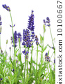 flower of lavender on a white background 10100667