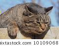 pussy, cat, fat cat 10109068
