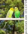animals, parrot, parakeet 10113704