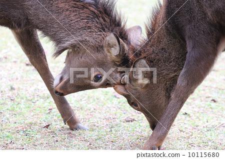 deer 10115680