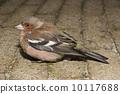 Chaffinch (Fringilla Coelebs) 10117688