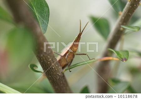 곤충 (쇼 료 메뚜기) 10118678