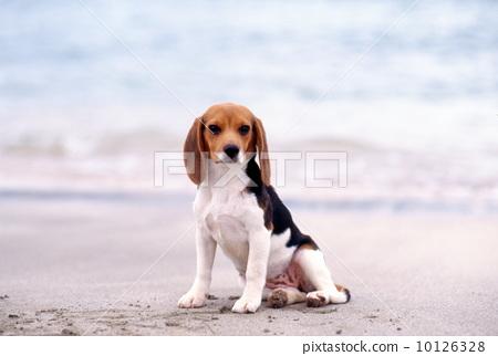 beagle 10126328