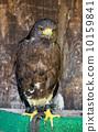 hawk, harris, unicinctus 10159841