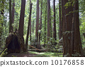 Northern California Redwood forest  10176858