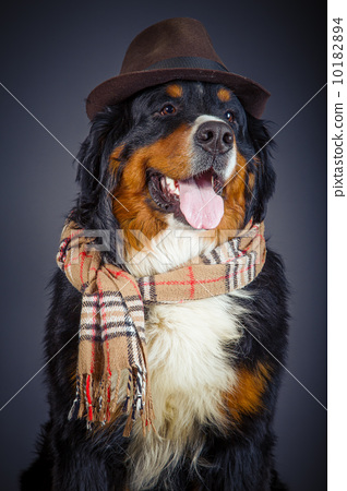 dog in scarf and hat 10182894