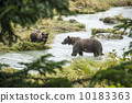 brown, alaska, bear 10183363