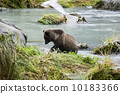 brown, alaska, bear 10183366