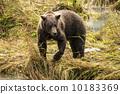 brown, alaska, bear 10183369
