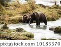 brown, alaska, bear 10183370