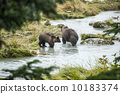 brown, alaska, bear 10183374