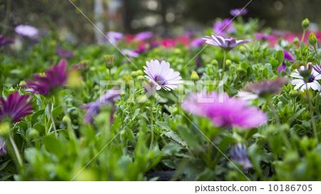 春天的雏菊 10186705