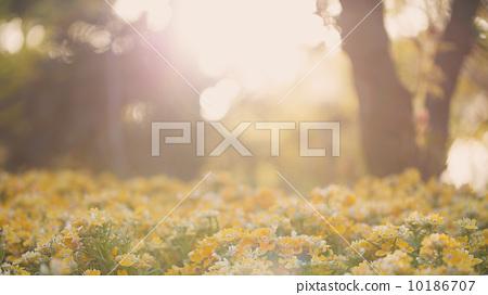 黃昏下的花叢 10186707