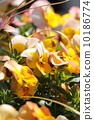 中提琴 花朵 花 10186774