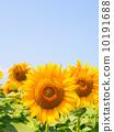 向日葵 太陽花 花朵 10191688