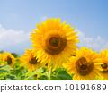 向日葵 太陽花 花朵 10191689