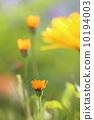 萬壽菊 花朵 花 10194003