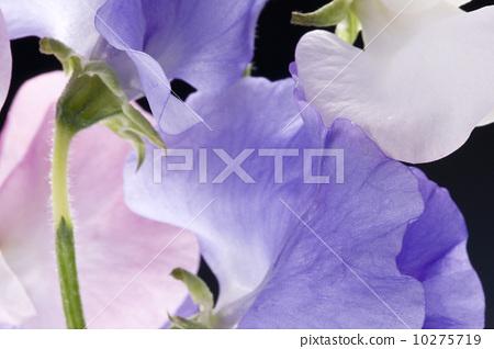 花瓣背景 10275719