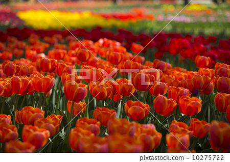 紅色鬱金香 10275722