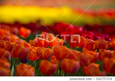红色郁金香 10275724