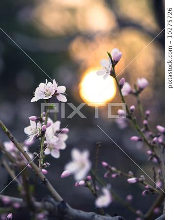 落日下的桃花 10275726