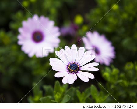美丽的雏菊 10275727