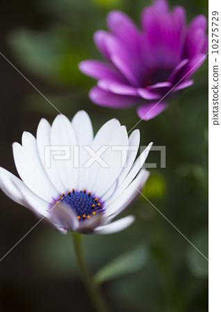 美麗的雛菊 10275729