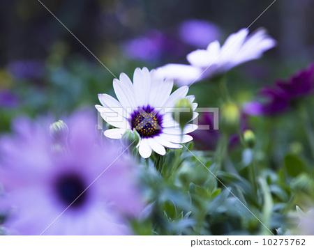 美丽的雏菊 10275762