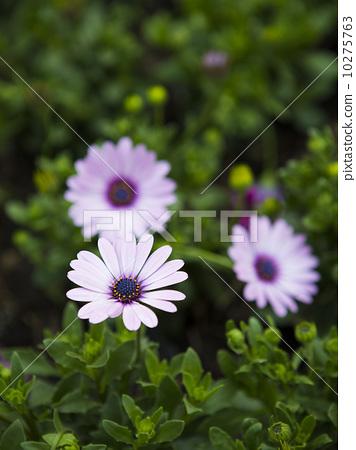 美麗的雛菊 10275763
