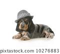 西班牙獵犬 灰色 英語 10276883