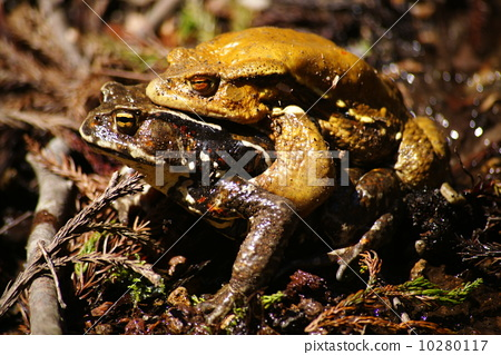 Japanese toad 10280117