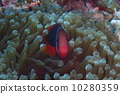ปลาการ์ตูน,มิยะโคจิมะ,ด้านหน้า 10280359