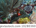 anemone fish, anemonefish, clown anemonefish 10280360