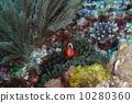 ปลาการ์ตูน,โอกินาวะ,ด้านหน้า 10280360